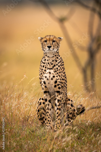 Cheetah sits in long grass facing camera Fotobehang
