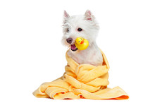 White Dog After Bathing Holding Rubber Duck In The Mouth