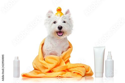 Carta da parati Happy west highland terrier after bathing