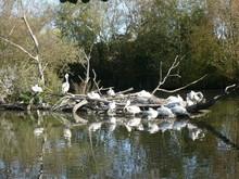 Pélicans Frisés Sur Un Radeau De Branches Au Parc Animalier De Sainte-Croix à Rhodes En Moselle. France