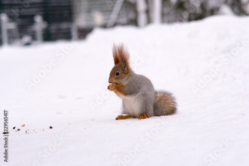 winter squirrel eating nut