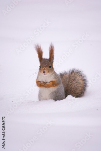 Tuinposter Eekhoorn winter squirrel