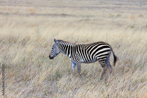 Tuinposter Zebra Zebra in the Savannah / Zebra in the Savannah of the national Park, Ngorongoro conservation area