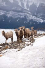 Young Bighorn Sheep In The Sno...