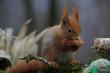 Eurasische Eichhörnchen (Sciurus vulgaris) am Futterplatz im Garten
