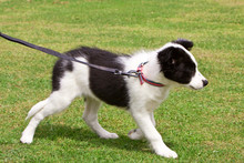 Baby Border Collie Puppy Learn...