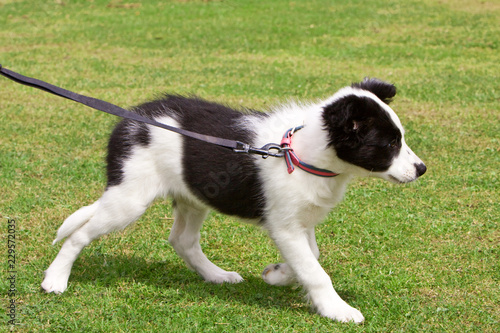 Fototapeta Baby border collie puppy learning to walk on the lead