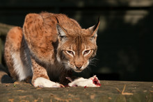 Lynx With Her Dinner