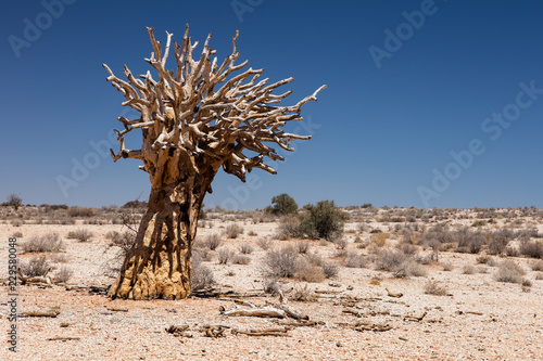 Fotografía  Dead quiver tree in the desert