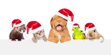 Group Of Pets In Red Christmas Hats Peeking Over Empty White Board. Isolated On White Background. Space For Text