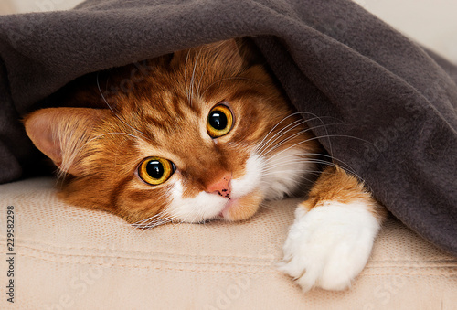 Tablou Canvas cat peeking under blanket