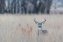 Wild Deer On The High Plains Of Colorado - White Tailed Buck In A Field Of Tall Grass