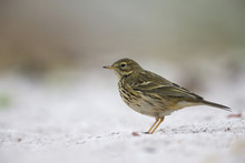 A Close-up Of A Meadow Pipit (Anthus Pratensis) Foraging On The Beach Of Heligoland. White Coloured Sand With Stones And Twigs.