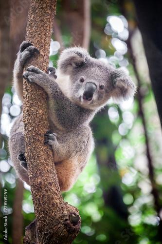Photo Stands Koala Baby koala bear.