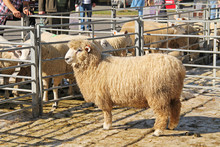 Male Romney Sheep And Some Other Sheep Of Different Breeds At The Exhibition Of Farm Animals In Vendryne, Czech Republic, October 13, 2018