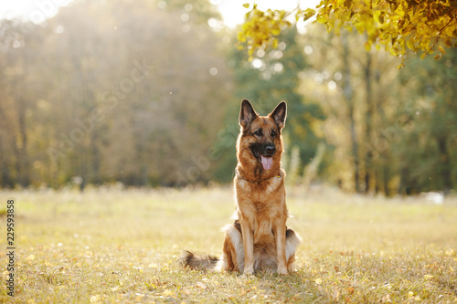 Stampa su Tela Sitting german shepherd dog