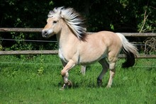 Beautiful Fjord Horse Is Runni...