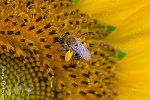 Fotografie, Obraz  close-up of bee on sunflower