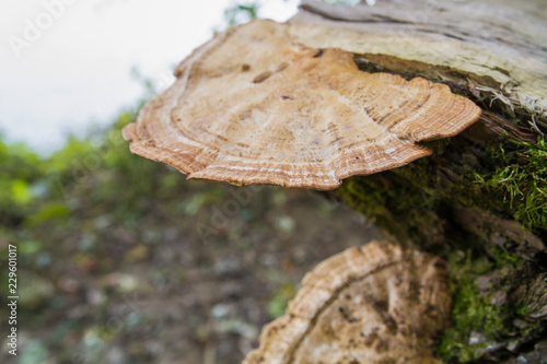 Valokuva  Polypore Type Fungus Growinfg On Downed Tree Naturally