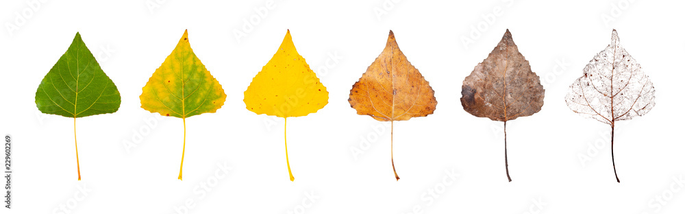 Fototapety, obrazy: Row of leaves from green to rotten isolated on a white background. The concept of the biological life cycle and change of seasons.