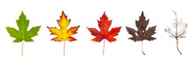 Row Of Maple Leaves From Green To Rotten Isolated On A White Background. The Concept Of The Biological Life Cycle And Change Of Seasons.
