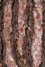 Closeup Of Old Tree Cracked Bark Background Or Texture