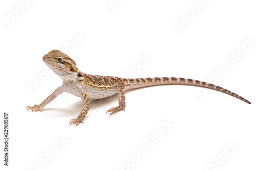 bearded dragon isolated on white background Poster Mural XXL