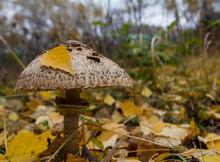 Mushroom Macrolepiota Excoriata In The Autumn Forest