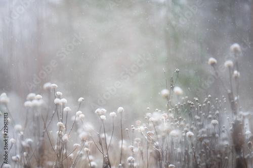 Fototapeta Heartleaf Oxeye (Telekia speciosa) seed heads in winter snowfall. Selective focus and shallow depth of field. obraz na płótnie