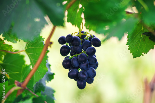 Bunch of red grapes on the vine with green leaves, bright background.