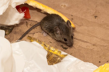 House Mouse (Mus Musculus) Amo...