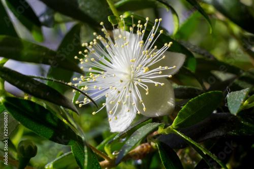 Fototapeta One white myrtle flower (Myrtus communis) close up obraz