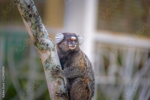 Common marmoset monkey - Rio de Janeiro, Brazil