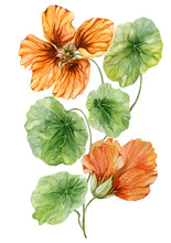 Beautiful Orange Nasturtium Flower (nose-twister) On A Green Stem With Leaves. Isolated On White Background. Watercolor Painting.