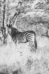 Fototapeta na wymiar zebra in african bush