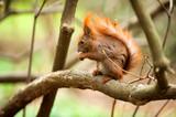 Fototapeta Zwierzęta - Wiewiórka na gałęzi