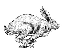 Soaring Hare Wild Forest Animal Jumping Up. Gray Rabbit. Vintage Style. Engraved Hand Drawn Sketch.