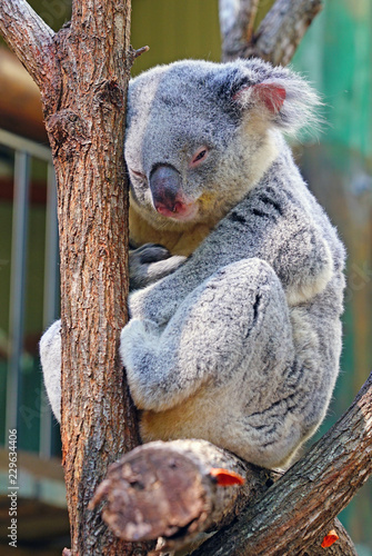 Staande foto Koala A koala sleeping on a eucalyptus gum tree in Australia