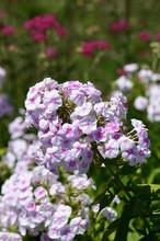 Pink Phlox Paniculata Garden Phlox