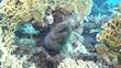 Riesenmuräne (Gymnothorax javanicus) zwischen Netz-Feuerkorallen (Millepora dichotoma)