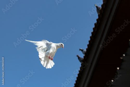 white feather homing pigeon flying against clear blue sky