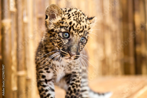 Fotografie, Obraz  A baby leopard cub with a curious look on its face