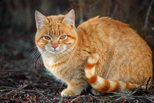 Orange Tabby Cat With Striped ...