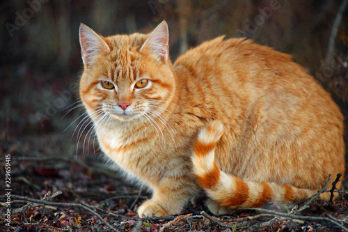 Photo Orange tabby cat with striped tail sitting outside in the garden