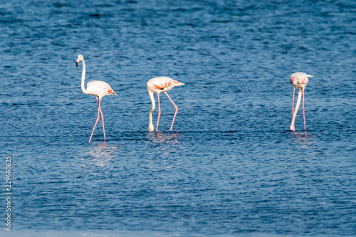 Flamingos at Ria de Aveiro delta
