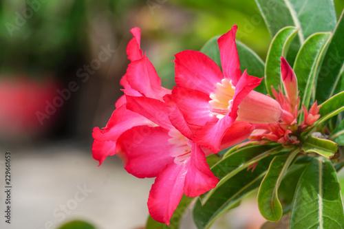 Foto op Canvas Azalea Azalea flowers