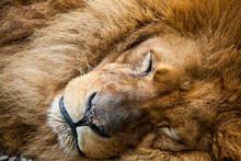 Closeup Of A Male Lion Sleeping