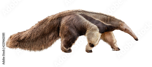 Anteater Facing Side Extracted Fototapete