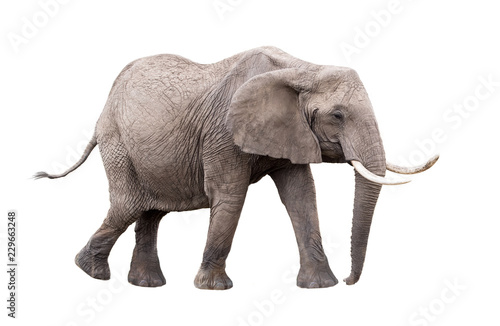Elephant Walking Side Extracted Canvas Print