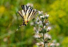 Albania, Scarce Swallowtail, Iphiclides Podalirius, On Echium